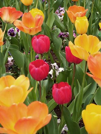 tulip-mania-1179640